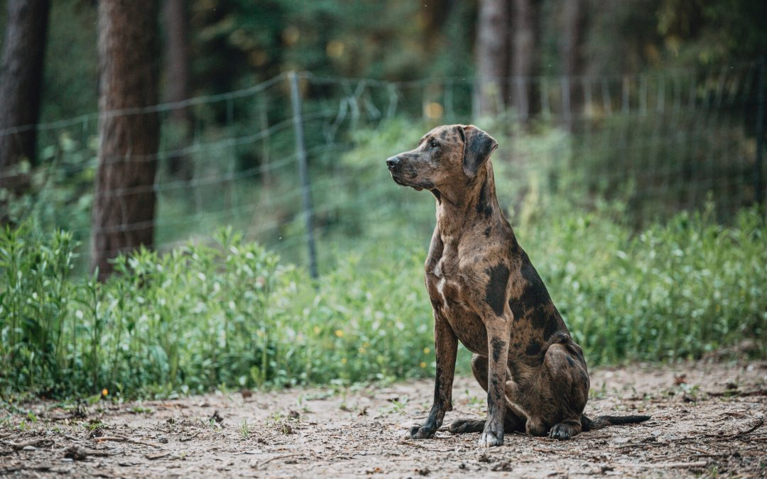 Bailey – der Catahoula Leopard Dog