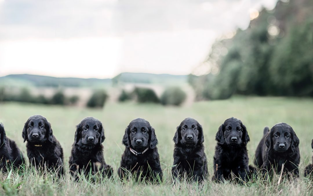 Welpenshooting – 10 kleine Flat Coated Retriever in der Weinkiste!